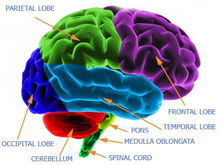human brain schematic